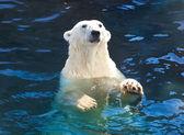Polar bear — 图库照片