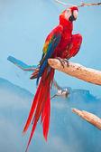Ara papagei — Stockfoto