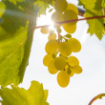 Sunny grapes — Stock Photo