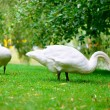 Two swans grazing green grass — Stock fotografie