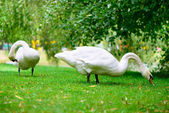 Two swans grazing green grass — Stock Photo