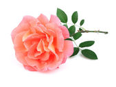 Beauty rose with leaves — Stock Photo