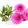 Beauty dahlia on a white background - Stock Photo