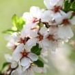 Beauty flowers of apple - Stock Photo