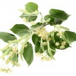 Branch of linden — Stockfoto