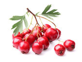 Berry of hawthorn — Stock Photo