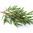 Stock Photo: Branch of rosemary