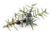Juniper berry — Stock Photo