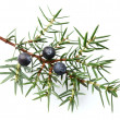 Juniper twig with berries — Stock Photo