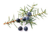Juniper twig — Stock Photo