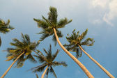 Tropical coconut palm trees — Stockfoto