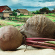 Beet on the background of rural areas - Stock Photo