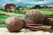 Beet on the background of rural areas — Stock Photo