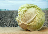 Cabbage on the background of agricultural lands — Stock Photo