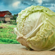 Cabbage on the background of rural areas — Zdjęcie stockowe