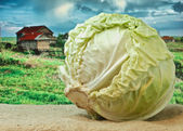 Cabbage on the background of rural areas — Stock Photo