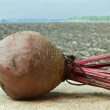 Beet on the background of agricultural lands — Stock Photo