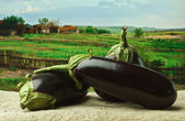 Eggplant on the background of rural areas — Stock Photo