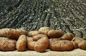 Aardappelen op de achtergrond van landbouwgronden — Stockfoto