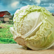 Stock Photo: Cabbage on background of rural areas