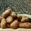 Potatoes on the background of agricultural lands — Stock Photo #13555292
