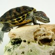 Red ear turtle in aquarium - Stock Photo