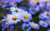 Blue aster wildflowers in a field — Stock Photo