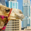 Camel at the urban building background of Dubai. — Stock Photo #15549149