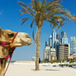 Camel at the urban building background of Dubai. — Stock Photo #15736701