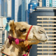Camel at the urban building  background of Dubai. - ストック写真