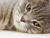 British kitten on white background — Stock Photo