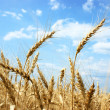 Mature ears of wheat in field — Stock Photo