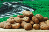 Bunch of potatoes on the background of rural areas — Stock Photo