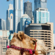 Camel at the urban building background of Dubai. — Stock Photo