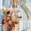 Camel at the urban building  background of Dubai. - Photo