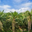 Palm forest in Phuket Thailand — Stock Photo