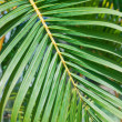 Stock Photo: Palm leaf