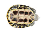 Red ear turtle isolated on white background — Stock Photo