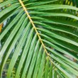 Palm leaf — Stock Photo #21681643