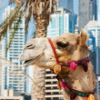 Camel at urbbuilding background of Dubai. — Stock Photo #22183709
