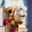 Head of a camel — Stock Photo #22753465
