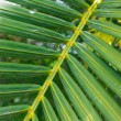 Palm leaf — Stock Photo #22897572
