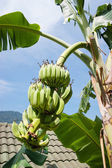 Unripe bananas on a branch in Thailand — Stock Photo