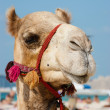 Head of a camel on a background of blue sky — Stock Photo #24453723