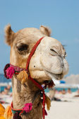 Head of a camel on a background of blue sky — Stock Photo