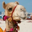 Royalty-Free Stock Photo: Head of a camel on a background of blue sky
