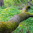 Fallen tree in spring forest - Stock Photo
