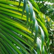 Palm leaf — Stock Photo #26526215