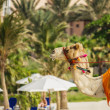Camel on the beach in Dubai — Stock Photo #33479385