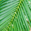 Palm leaf — Stock Photo #36761267